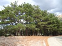 Achaia - Kalavrita - Black Pine on route to Agia Lavra Monastery