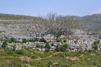 Dodecanese - Chalki - Tree In the path