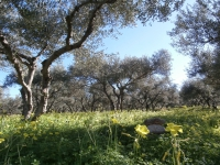 Olive plantation view