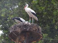 Storks in their nest on electrical power pillars in the village Kerkini