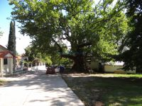 The village Platanakia is full of high plane trees