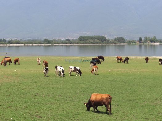 Cows grazing carefree on the lakeside, Kerkini, Serres
